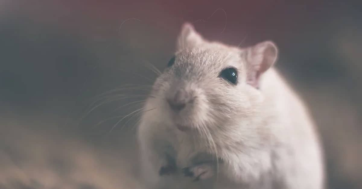 Can Mice Live In Mattresses?